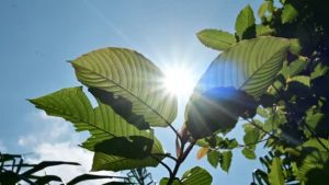 Find the best sites to purchase kratom online